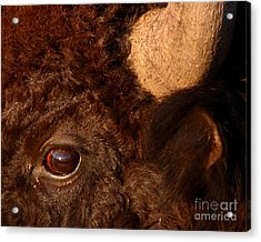 Sunset Reflections In The Eye Of A Buffalo Acrylic Print by Max Allen