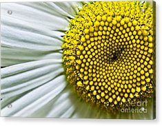 Sunshine Daisy Acrylic Print by Ryan Kelly