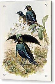 Superb Bird Of Paradise  Acrylic Print by John Gould