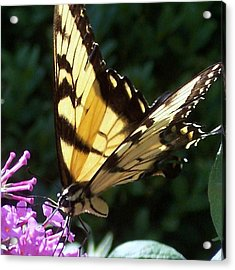 Swallowtail 2 Acrylic Print by Anna Villarreal Garbis