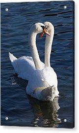 Swan Courtship  Acrylic Print by David Pyatt