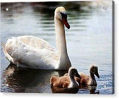 Swan Family Acrylic Print by Terril Heilman