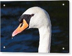 Swan Water Droplets  Acrylic Print by David Pyatt