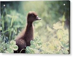 Sweet As Clover Acrylic Print by Amy Tyler