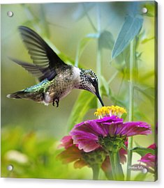 Sweet Success Hummingbird Square Acrylic Print by Christina Rollo