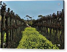 Sweet Vines Acrylic Print by Douglas Barnard