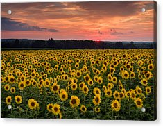 Taps Over Sunflowers Acrylic Print by Michael Blanchette