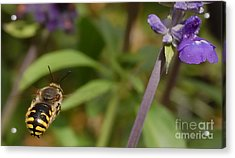 Target In Sight - Honey Bee  Acrylic Print by Steven Milner