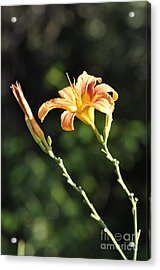 Tasmania Day Lily Acrylic Print by Penny Neimiller