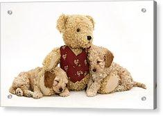Teddy Bear With Puppies Acrylic Print by Jane Burton