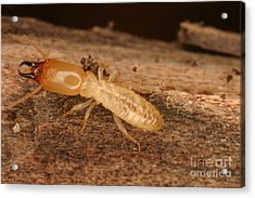 Termite Acrylic Print by Ted Kinsman