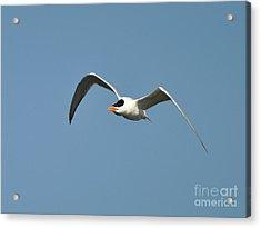 Tern Flight Acrylic Print by Al Powell Photography USA