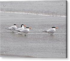 Terns Wading Acrylic Print by Al Powell Photography USA