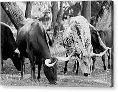 Texas Longhorn Steer In Black And White Acrylic Print by Alan Look