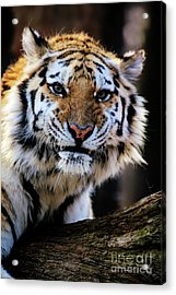 That Tiger Look Acrylic Print by Karol Livote
