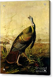 The American Wild Turkey Cock Acrylic Print by John James Audubon
