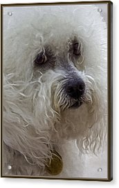 The Bichon Frise Acrylic Print by Lynn Andrews
