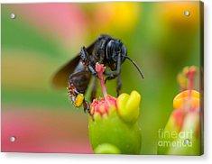 The Black Bee Acrylic Print by Cesar Marino