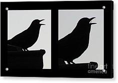 The Black Birds  Songs Acrylic Print by Joyce Woodhouse