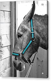 The Blue Mule Acrylic Print by Edward Myers