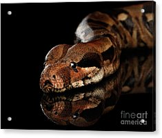 The Boa Constrictors, Isolated On Black Background Acrylic Print by Sergey Taran