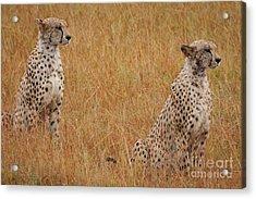 The Cheetahs Acrylic Print by Stephen Smith