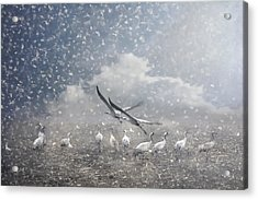 the cranes of Fischland Acrylic Print by Joachim G Pinkawa