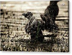 The Eastern Jungle Crow Corvus Macrorhynchos Levaillantii Acrylic Print by Venura Herath
