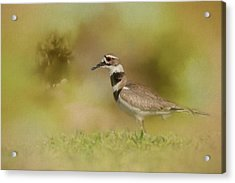 The Elusive Killdeer Acrylic Print by Jai Johnson