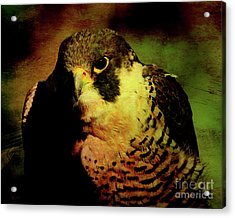The Falcon Acrylic Print by Wingsdomain Art and Photography