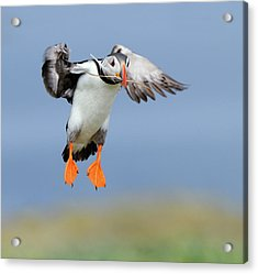 The Feather Acrylic Print by Harry Eggens