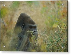 The Gorilla 5 Acrylic Print by Ernie Echols