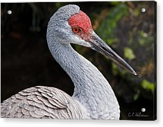 The Greater Sandhill Crane Acrylic Print by Christopher Holmes