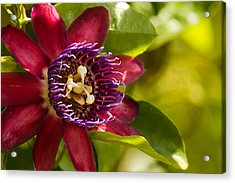 The Heart Of A Passion Fruit Flower Acrylic Print by Andres Leon