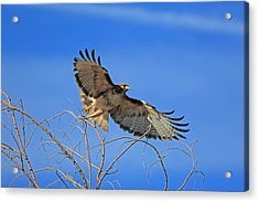 The Hunt Acrylic Print by Donna Kennedy