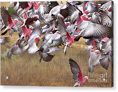 The Last One In The Air Acrylic Print by Bill  Robinson