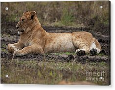 The Lioness Acrylic Print by Stephen Smith