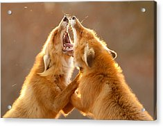 The Meeting _ Red Fox Fight Acrylic Print by Roeselien Raimond