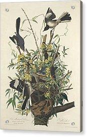 The Mockingbird Acrylic Print by John James Audubon