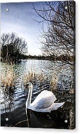 The Peaceful Swan Acrylic Print by David Pyatt