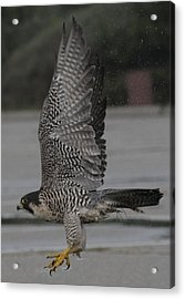 The Peregrine Falcon Acrylic Print by Christopher Kirby