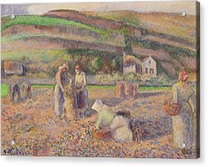 The Potato Harvest Acrylic Print by Camille Pissarro