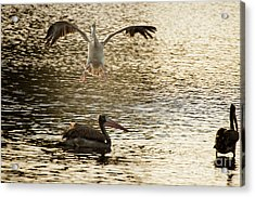 The Spot-billed Pelican Or Grey Pelican  Pelecanus Philippensis  Acrylic Print by Venura Herath
