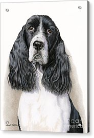 The Springer Spaniel Acrylic Print by Sarah Batalka