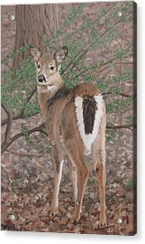 The Yearling Acrylic Print by Sandra Chase