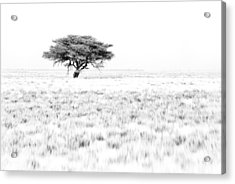 This Is Namibia No.  9 - African Acacia Tree Acrylic Print by Paul W Sharpe Aka Wizard of Wonders