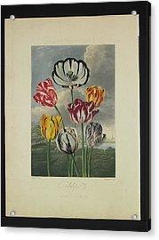 Thornton - Tulips Acrylic Print by Pat Kempton