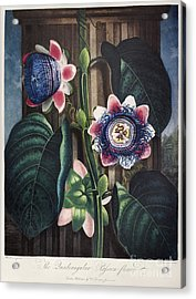 Thornton: Passion-flower Acrylic Print by Granger