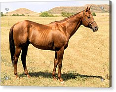 Thoroughbred From Right Side Acrylic Print by Cheryl Poland