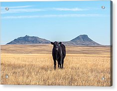 Three Buttes Steer Acrylic Print by Todd Klassy